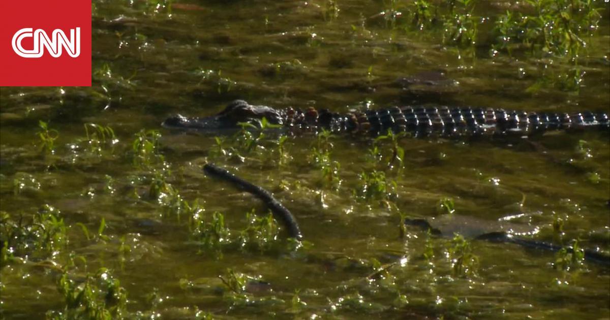 تمساح يظهر في بركة خلف مدرسة يستخدمها الطلاب في مادة الأحياء